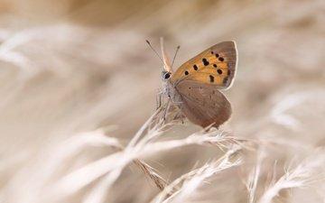 растения, насекомое, бабочка, крылья, колоски