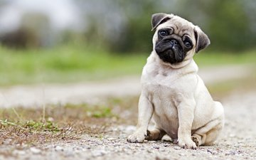 muzzle, look, dog, puppy, pug