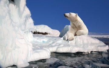 небо, полярный медведь, медведь, лёд, льдины, белый медведь, арктика