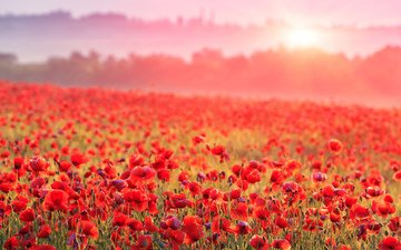 flowers, fog, field, horizon, red, maki