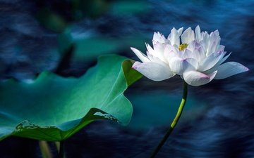 water, leaves, flower, petals, pond, lotus