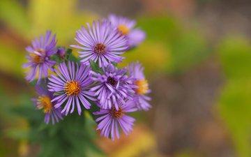 flowers, petals, bokeh, astra, astra tatar