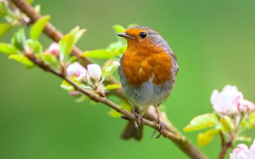 branch, flowering, bird, beak, spring, feathers, robin