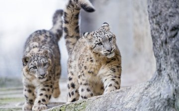 face, look, predators, snow leopard, irbis, wild cat