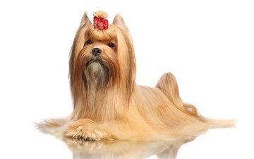 reflection, muzzle, look, dog, puppy, white background, yorkshire terrier
