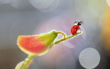 насекомое, цветок, капли, божья коровка, растение, боке