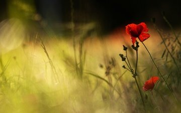 light, flowers, grass, petals, red, maki, blur, bokeh