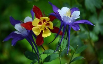 flowers, macro, the catchment, aquilegia