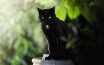 cat, muzzle, mustache, look, black, green eyes