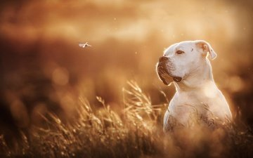 white, dog, dragonfly, bokeh, boxer