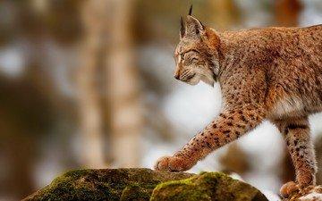 рысь, камень, прогулка, дикая кошка