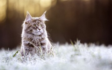 eyes, grass, background, cat, mustache, frost, look, maine coon