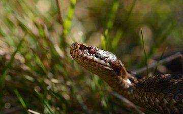 трава, змея, рептилия, пресмыкающееся