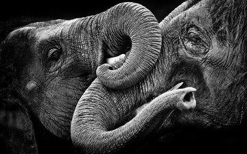 природа, фон, чёрно-белое, слоны