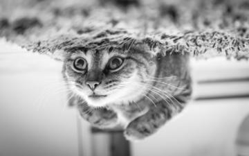 глаза, фон, усы, кошка, взгляд, чёрно-белое