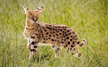 grass, africa, wild cat, serval, john fielding