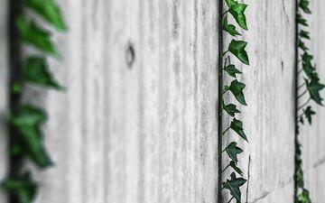 листья, стена, растение, плющ, лиана