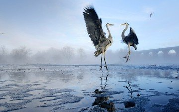lake, wings, birds, heron, herons