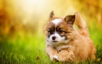 grass, look, dog, puppy, walk, each, welsh corgi
