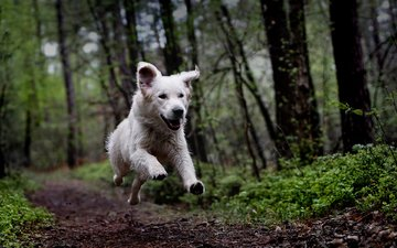 forest, dog, running, manuel clé, the white swiss shepherd dog, timmi
