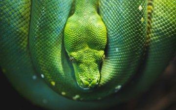 snake, python, reptile