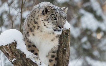 snow, winter, snow leopard, irbis, bars, wild cat
