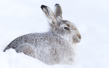 snow, winter, rabbit, cold, hare, hiding, rodent
