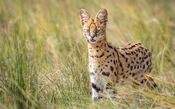 eyes, grass, look, wild cat, serval