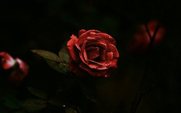 flowers, leaves, roses, petals, red, black background