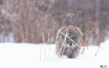 owl, snow, nature, winter, frost, bird, bird of prey