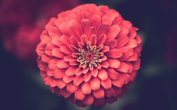 цветок, лепестки, крупным планом, цинния
