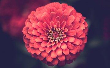 flower, petals, closeup, zinnia