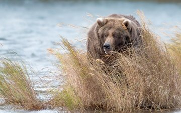 water, bear, thickets, brown bear