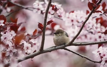 flowering, branches, bird, spring, sparrow, cherry