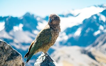 the sky, clouds, bird, beak, parrot, parrot kea