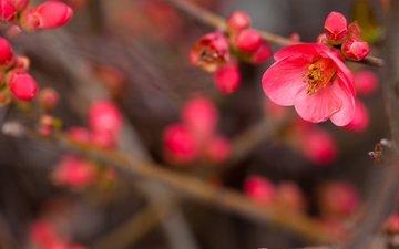 цветы, цветение, ветви, размытость, розовые