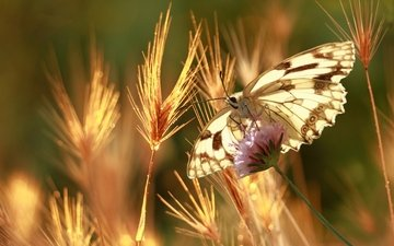 grass, nature, plants, insect, flower, butterfly, blur, spikelets