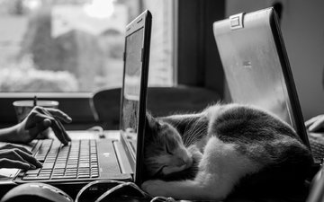 мордочка, усы, кошка, чёрно-белое, сон, стол, ушки, ноутбук