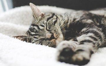 кот, мордочка, усы, кошка, взгляд, сон, полосатый