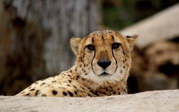 глаза, морда, взгляд, хищник, гепард