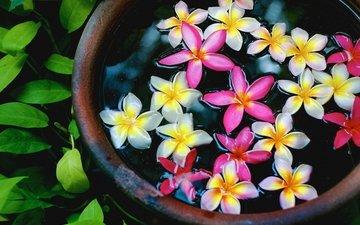цветы, вода, лепестки, чаша, плюмерия