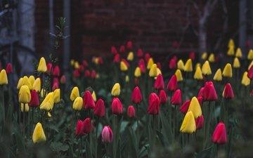 цветы, тюльпаны, клумба