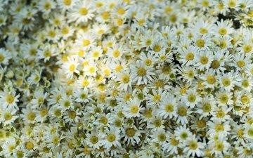 цветы, поляна, ромашки