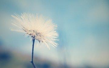 цветок, одуванчик, семена, пух, пушинки, былинки