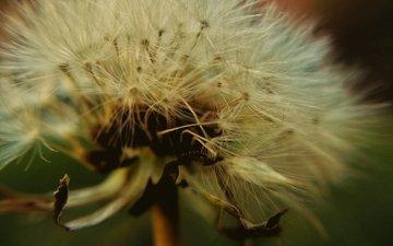 цветок, одуванчик, семена, пух, пушинки, крупным планом, былинки