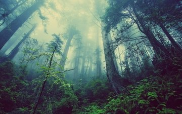 trees, nature, forest, fog