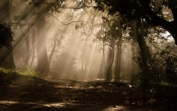 trees, plants, forest, the sun's rays