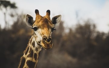 blur, animal, giraffe, head, horns, neck