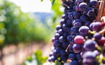 виноград, размытость, ягоды, боке