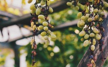 grapes, berries, vine